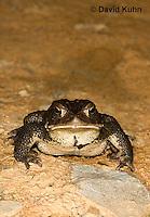 0304-0927  American Toad, © David Kuhn/Dwight Kuhn Photography, Anaxyrus americanus, formerly Bufo americanus