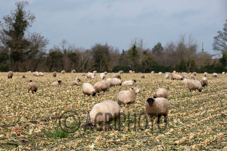 16/12/2020 Store lambs grazing brassicas in the Lincolnshire Fens<br /> ©Tim Scrivener Photographer 07850 303986<br />      ....Covering Agriculture In The UK....
