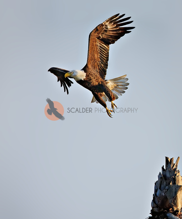 Bald Eagle taking off from palm tree stump in late afternoon light