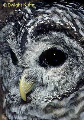 OW01-044b  Barred owl - showing eyes and beak - Strix varia