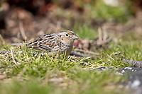 Grasshopper Sparrow (Ammodramus savannarum pratensis), a rare spring migrant to Central Park, New York City, New York.
