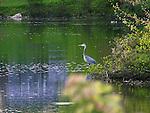Blue Heron Fishing at the Pond, New Hampshire, USA