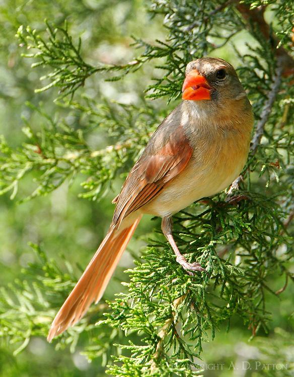 Northern cardinal adult female in juniper tree