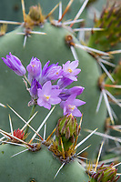 Bluedicks or Desert Hyacinth (Dichelostemma capitatum) growing beside Prickly Pear Cacti..  Common desert wildflower.  Arizona.  Fed-March