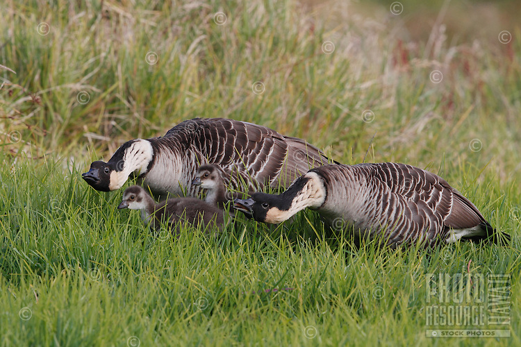 Two nene (Hawaiian geese) protect their two goslings, Hawai'i.