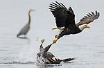 Fiesty eagles battle on water by Chris Covington