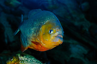 Piranha, Serrasalmus sp., captive