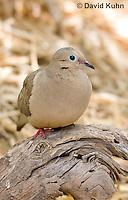 0611-1105  Mourning Dove in Arizona Desert (Sonoran Desert), Zenaida macroura  © David Kuhn/Dwight Kuhn Photography