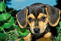 Beagle puppy dog close up lying in the grass with ears forward and irresistable