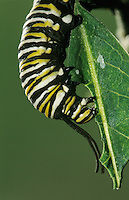 Monarch, Danaus plexippus, caterpillar eating on Milkweed leave , Willacy County, Rio Grande Valley, Texas, USA, April 2004