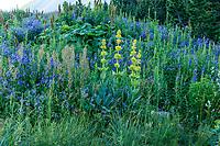 France, Hautes-Alpes (05), Villar-d'Arène, jardin alpin du Lautaret, prairie avec polémoines et gentianes jaunes