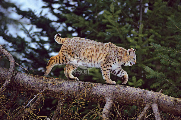 Bobcat (Felis rufus) or (Lynx rufus) walking fallen tree.  Northern Rockies, winter.