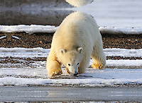 A curious polar bear cub approaches the shoreline along a barrier island outside Kaktovik, Alaska. Every fall, polar bears gather near the community, on the northern edge of ANWR, waiting for the Arctic Ocean to freeze. The bears have become a symbol of global warming.