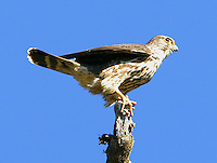 Female merlin