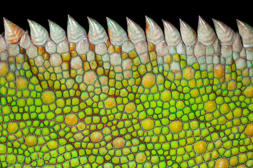Detail of scales on Panther Chameleon (Furcifer pardalis). Masoala Peninsula National Park, north east Madagascar.