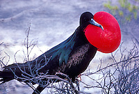 Great Frigatebird with nesting baby chick, Christmas Island