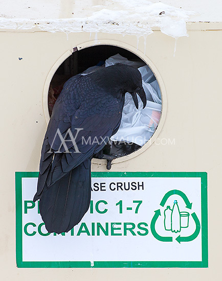 Ravens are smart creatures and know where to find accessible food sources.