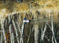 """GOLDENEYE ON ABSTRACT WATERS""<br />