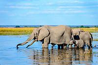 African bush elephants (Loxodonta africana), herd standing in water, Chobe River, Chobe National Park, Botswana, Africa