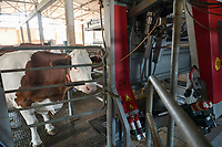 CROATIA, Osijek, dairy farm / KROATIEN, Osijek, Milchviehbetrieb, Familienbetrieb von , Lely Melkroboter
