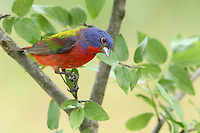 The Painted Bunting (Passerina ciris) is a species of bird in the Cardinal family, Cardinalidae, that is native to North America.