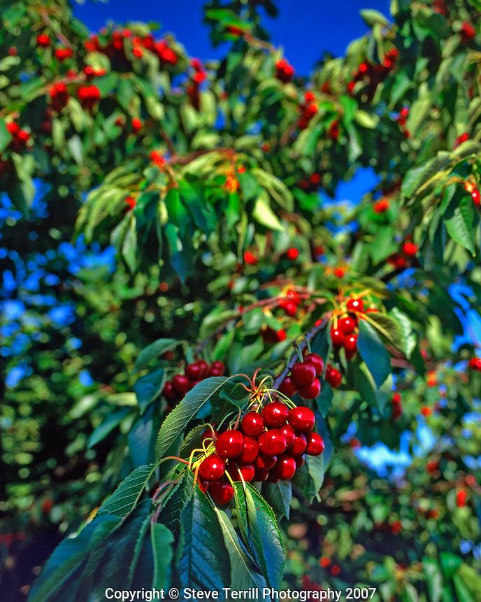 Cherry tree loaded with fruit near Mosier, Oregon