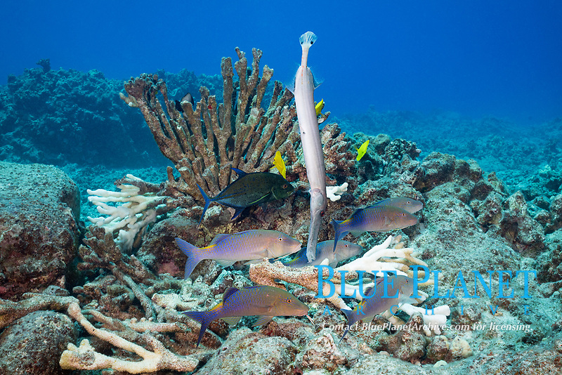 hunting coalition of blue goatfish or gold-saddle goatfish, Parupeneus cyclostomus, with bluefin jacks or omilu or bluefin trevally, Caranx melampygus, and a Pacific trumpetfish, Aulostomus chinensis, forage in reef crevices below an antler coral bleached and killed by high water temperatures, Kohanaiki, North Kona, Hawaii (the Big Island), USA (Central Pacific Ocean)