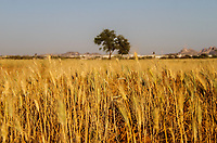 Cultivo de maíz. Espigas de maíz. Arbol, Simetria