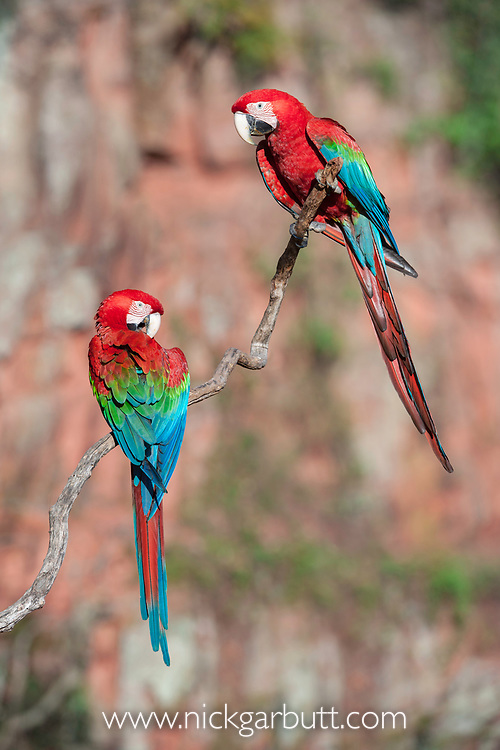 A pair of Red-and-Green Macaws or Green-winged Macaws (Ara chloropterus) (Family Psittacidae) preening / interacting. Buraco das Araras (Sinkhole of the Macaws), Jardim, Mato Grosso do Sul, Brazil.