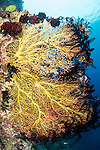 Anda, Bohol, Philippines; a large yellow sea fan rimmed with dark colored feather stars on the reef wall