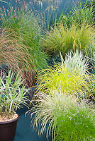 Ornamental grasses in pots including Deschampsia caespitosa Goldtau, Carex morrowii Ice Dance, Carex phyllocephala Sparkler, Carex elata Aurea, Miscanthus sinensis Stricta, Pennisetum 'Red Buttons', Stipa gigantea, Phalaris arundinacea var. picta Feesey aka Feesy's Form