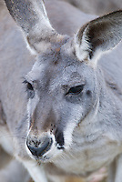 Detail of the face of a grey kangaroo at Cleland Wildlife Park, Adelaide, South Australia