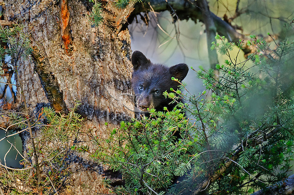 """Wild Black Bear (Ursus americanus) cub resting in tree.  Western U.S., spring. (This is what is known as a """"coy""""--cub of the year.)"""