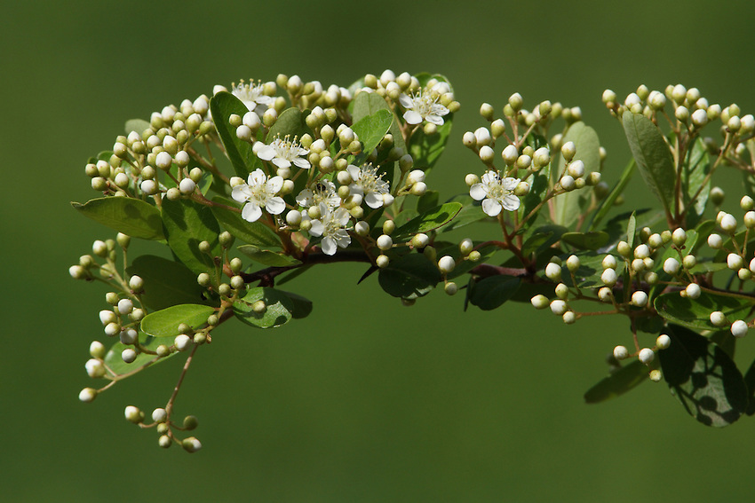 Firethorn (Pyracantha coccinea) is native within a range extending from southern Europe to Caucasus Mountains in western Asia.
