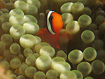 Kenting, Taiwan -- A tiny clownfish , seeking protection in the tentacles of an anemone.<br /> <br /> The anemone tentacles contain microscopic stinging cells called nematocysts to which the clownfish is immune and thus guard it against reef predators.