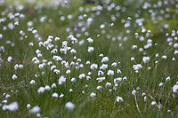 Scheiden-Wollgras, Scheidenwollgras, Moor-Wollgras, Scheidiges Wollgras, Schneiden-Wollgras, Wollgras, Wollgräser, Eriophorum vaginatum, hare's-tail cottongrass, tussock cottongrass, sheathed cottonsedge, cottongrass, cottonsedge, cotton-grass, cotton-sedge