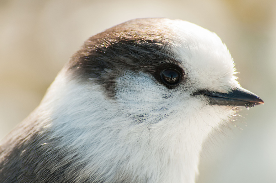 Often working in teams, Gray Jays are a constant threat to unattended sandwiches and snacks on White Mountain Summits.