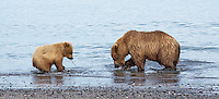 Alaskan brown bear and cub playing on the beach in Lake Clark National Park, Alaska