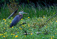 A Great Blue heron in a meadow of Yellow primrose.