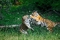 Siberian Tigers (Panthera tigris altaica) play fighting.
