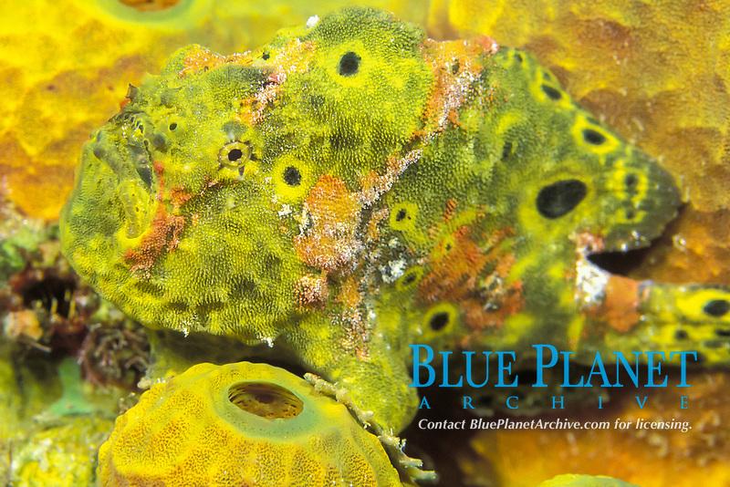 longlure frogfish, Antennarius multiocellatus, SVG, Caribbean