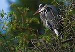 Great Blue Heron, Seattle, Washington, USA