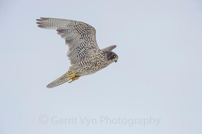 Adult female dark-morph Gyrfalcon (Falco rusticolus) in flight. Seward Peninsula, Alaska. May.