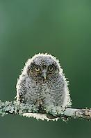Eastern Screech-Owl, Megascops asio, Otus asio,young fledgling, Willacy County, Rio Grande Valley, Texas, USA, May 2004