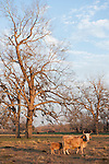 Brazoria County, Damon, Texas; a cow and her calf walking under a live oak tree in late afternoon sunlight