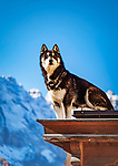 Italien, Suedtirol (Trentino - Alto Adige), Dolomiten, Campilltal: Bergdorf Campill - Husky haelt vom Balkon Ausschau | Italy, South Tyrol (Trentino - Alto Adige), Campill Valley (Val di Longiarù): mountain village Campill (Longiarù) - Husky uses tha balcony as lookout