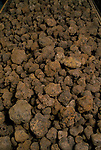 Truffling in Cahors France. Jacques Pedeyre Frances largest truffle dealer and exporter.  Cahors France. Different grades of Truffles. <br />  1990s.