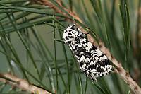 Klosterfrau, Hochwald-Fichteneule, Mönch, Panthea coenobita, Pine Arches, La Cénobite, Eulenfalter, Noctuidae, noctuid moths, noctuid moth