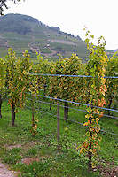 muscat vineyard dom faller weinbach kaysersberg alsace france
