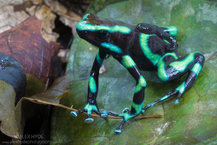 Green and Black Poison Frog male {Dendrobates auratus} carrying two tadpoles on its back. The female lays up to six eggs ina small pool of water. When they hatch the male transports them on his back to a suitable habitat, such as a steam, to develop. Osa Peninsula, Costa Rica. May.